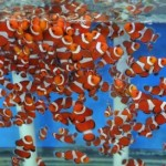 clownfish-500x274