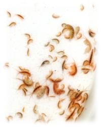 gammarus amphipods sustainable aquatics