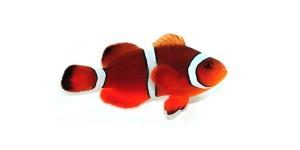 Sustainable Aquatics Mai Tai Clownfish Marine Aquariums Saltwater Fish Tanks Reef Tank Species Info