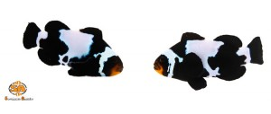 Sustainable Aquatics Amphiprion ocellaris Black Snowflake Clownfish #Saltwater #Aquarium #Fish #marine #for #sale #hatchery #coral #reef #fishes #aquarium