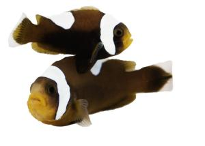 Sustainable Aquatics Amphiprion ocellaris Brown Saddleback Clownfish #Saltwater #Aquarium #Fish #marine #for #sale #hatchery #coral #reef #fishes #aquarium #fish #clown