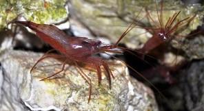 SA Peppermint Shrimp