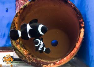 Sustainable Aquatics Black Snowflake  Clown Fish Brood Stock
